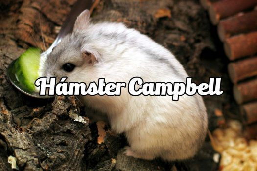 RoedoreS: Hámster Campbell